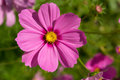 Cosmos flower bipinnatus with blurred background Royalty Free Stock Photo