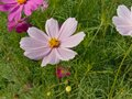 Cosmos flower Blooming in the Garden.Cosmos flowers For Background. Beautiful cosmos Flowers.White cosmos flower. Royalty Free Stock Photo