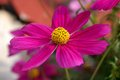 Cosmos flower close up of a Royalty Free Stock Photography