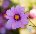 Cosmos flower (Cosmos bipinnatus) Royalty Free Stock Photo