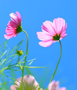 Cosmos flower cosmos bipinnatus on blue sky baackground Royalty Free Stock Photos