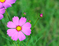 Cosmos flower cosmos bipinnatus with blurred background Stock Photo