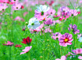 Cosmos flower cosmos bipinnatus with blurred background Stock Images