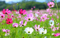 Cosmos flower cosmos bipinnatus with blurred background Stock Photography