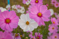 Cosmos flower cosmos bipinnatus with blurred background Royalty Free Stock Photos