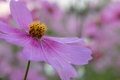 Cosmos flower cosmos bipinnatus with blurred background Royalty Free Stock Images