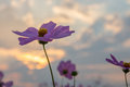 Cosmos flower cosmos bipinnatus with blurred background Stock Photos