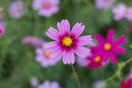 Cosmos flower cosmos bipinnatus with blurred background Stock Image