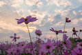 Cosmos flower cosmos bipinnatus with blurred background Royalty Free Stock Photography