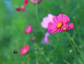 Cosmos flower cosmos bipinnatus with blurred background cosmos flowers blooming in the garden Stock Image