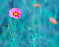 Cosmos flower cosmos bipinnatus with blurred background flowers blooming in the garden Royalty Free Stock Images