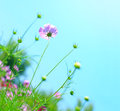 Cosmos flower cosmos bipinnatus with blurred background flowers blooming in the garden Stock Photo