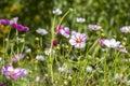 Cosmos flower cosmos bipinnatus close up of Stock Image