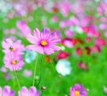 Cosmos flower cosmos bipinnatus colorful on the garden Stock Images
