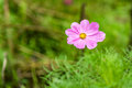 Cosmos flower cosmos bipinnatus with dew drop on blurred background Stock Photos