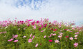 Cosmos Flower field with blue sky,spring season flowers Royalty Free Stock Photo