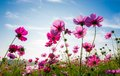 The cosmos flower field a face to sunrise in Royalty Free Stock Images