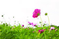Cosmos flower in the field on white background Stock Image