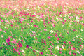 Cosmos Flower Fields In Nature...