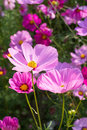 Cosmos flower in garden pink Stock Photography