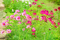 Cosmos flower in nature garden