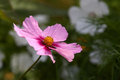 Cosmos flower pink in garden Royalty Free Stock Images