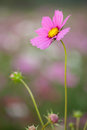 Cosmos flower pink in garden Stock Images