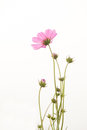 Cosmos flower plant in the garden isolated Stock Image