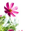 Cosmos flower purple on a white background Stock Image