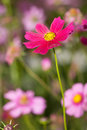 Cosmos flower red in garden Stock Photos