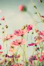Cosmos Flower And Soft Light W...