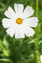 Cosmos flower white in the garden close up Stock Image