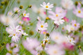 Cosmos flowers Stock Photos