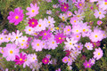 Cosmos flowers Royalty Free Stock Photo