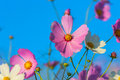 Cosmos Flowers against the blue sky Royalty Free Stock Photo