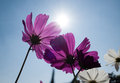 Cosmos flowers in blooming with sunset pic of Stock Photo