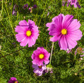 Cosmos flowers in blooming with sunset pic of Stock Photography