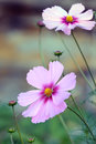 Cosmos flowers blossom in garden Stock Images
