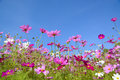 Cosmos flowers with the blue sky Royalty Free Stock Photo