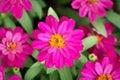 Cosmos flowers (Cosmos Bipinnatus). - Macro shot Royalty Free Stock Photo