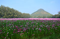 Cosmos flowers field at countryside nakornratchasrima thailand is a genus with the same common name of of about – species of Stock Images