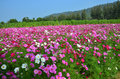 Cosmos flowers field at countryside nakornratchasrima thailand is a genus with the same common name of of about – species of Royalty Free Stock Photography