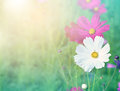 Cosmos flowers flower bipinnatus with blurred background Royalty Free Stock Images