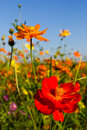 Cosmos flowers garden Royalty Free Stock Image