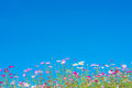 Cosmos flowers in the garden on blue sky Royalty Free Stock Photo