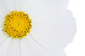 Cosmos flowers isolated on white background Stock Image