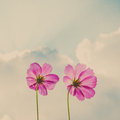 Cosmos flowers on sky and cloud vintage Stock Photo