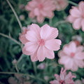 Cosmos Flowers soft focus with pastel tones. Royalty Free Stock Photo