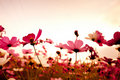 Cosmos flowers at sunset Stock Photography