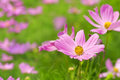 Cosmos Garden Royalty Free Stock Photo